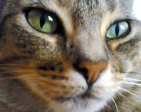 ovariohisterectomía diabetes felina